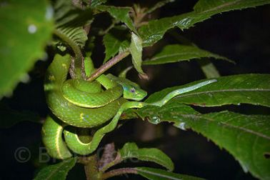 Venomous side-striped palm pit viper (Bothriechus lateralis), Monteverde Cloud Forest, Costa Rica. SP Lora