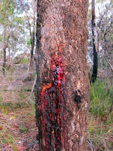 Árbol Sangre de Gallo (3)
