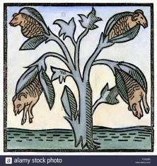 produtos-horticolas-cordeiro-mito-nda-barometz-ou-vegetais-cordeiro-de-tartary-uma-planta-que-de-acordo-com-a-lenda-cresceu-ovelhas-como-seu-fruto-e-assim-era-considerada-uma-possivel-fo